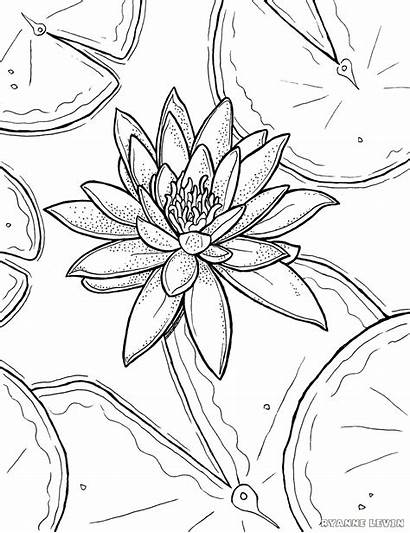 Lily Coloring Water Drawing Flower Adults Monet