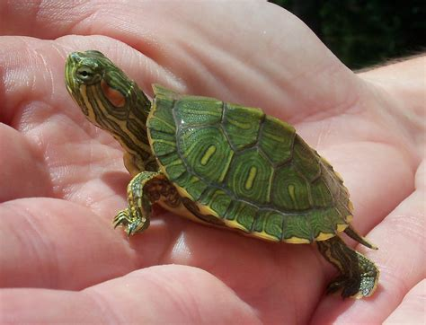 eared turtle red eared slider turtle facts habitat diet pet care pictures