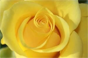 Gelbe Rose Bedeutung : gelbe rose 2 foto bild pflanzen pilze flechten bl ten kleinpflanzen rosen bilder auf ~ Whattoseeinmadrid.com Haus und Dekorationen