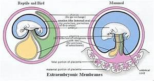 Extraembryonic Membranes  Fetal Membranes