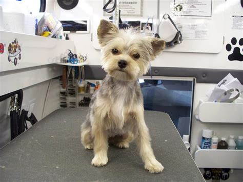 yorkie haircuts pictures the gallery for gt morkie haircuts 2448