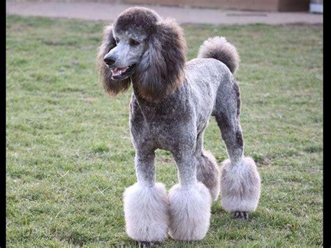 prairieland standard poodles puppies  sale