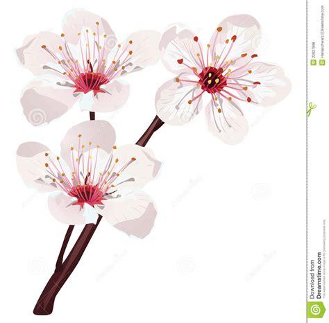 cherry blossom vector royalty  stock  image