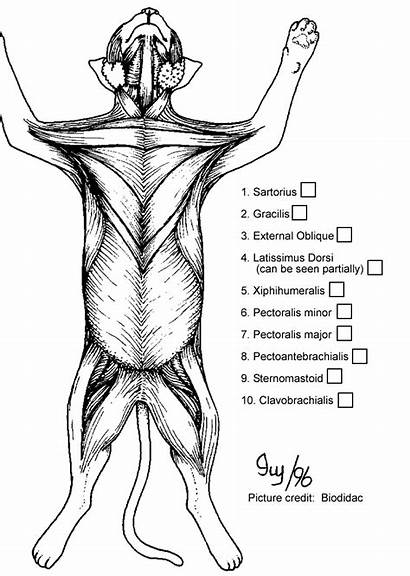 Cat Muscle Anatomy Muscles Coloring Pages Chest