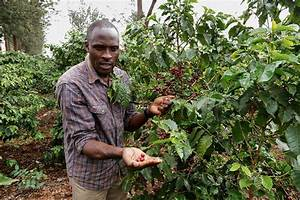 Climate Change Threatens Major Kenyan Cash Crop | NRDC