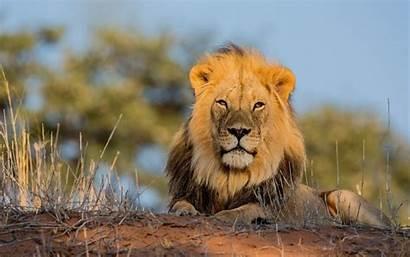 Animals Lions Wallpapers Pc Allwallpaper