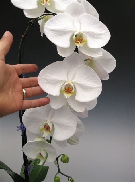 how do i care for an orchid after it blooms seasons phalaenopsis orchid and orchids on pinterest