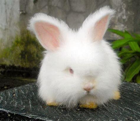 gambar kelinci anggora mini  lucu  imut terbaru