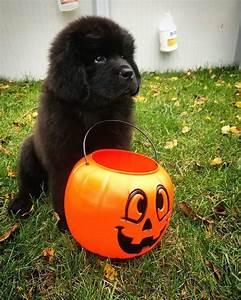 Cute, Happy, Halloween, Puppy, Pictures, 2018, For, Wallpaper, Hd, 1080p, Halloween2018, Halloween
