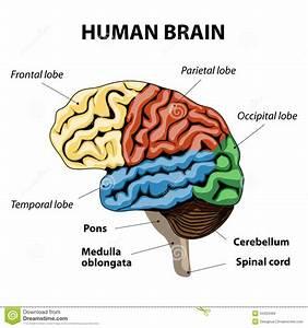 Human Brain Anatomy Stock Vector - Image: 44353466