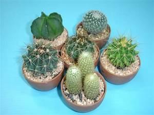 Baby Cactus - Buy Pot Cactus Product on Alibaba.com