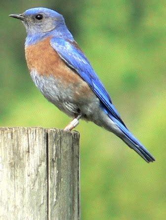 california bluebird pictures  facts birds