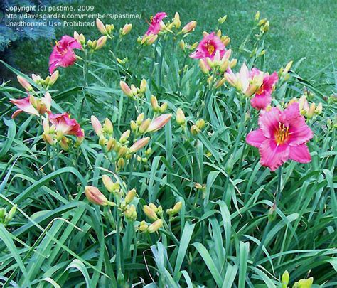 daylilies massachusetts plantfiles pictures daylily gordon biggs hemerocallis by pastime