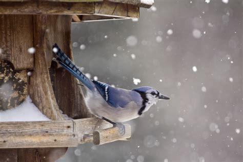 winter bird feeding    birds survive winter