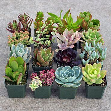 order succulents 460 best images about succulent pictures on pinterest gardens growing succulents and agaves