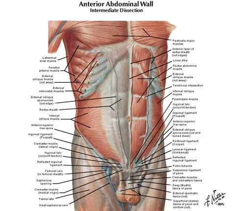 duke anatomy lab  anterior abdominal body wall abdominal viscera