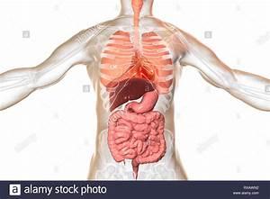Illustration Of A Man U0026 39 S Internal Organs Stock Photo