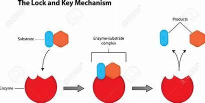 Clipart Enzyme Key Lock Mechanism Diagram Clipground