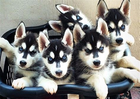husky puppies siberian dog puppy dogs pup huskies chien pups parents basket alaskan things laundry only animaux barkpost many rescue