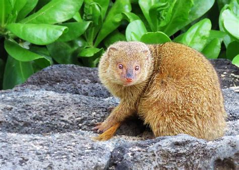 magnificent mongoose facts  noble snake killer