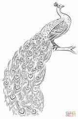 Coloring Peacock Pages Drawing Printable Draw Dot Paper sketch template