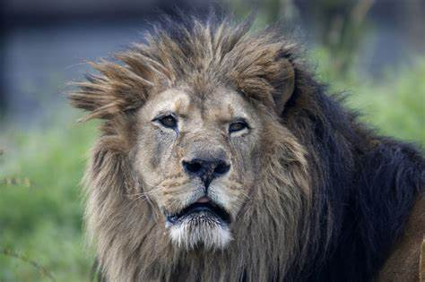 African Lions In Danger Of Extinction Should Be Listed As