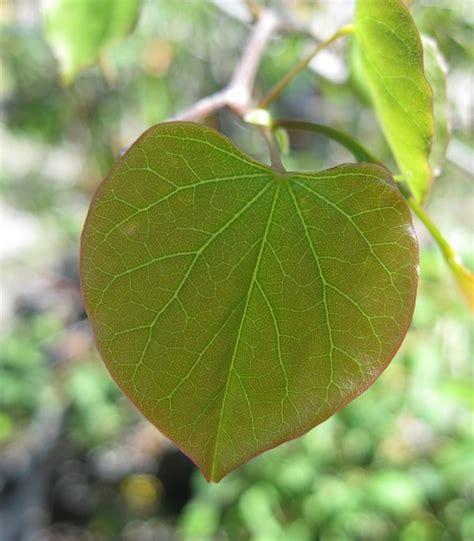 eastern redbud leaf cercis canadensis