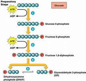 Glycolysis  Parts 1 And 2