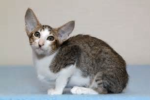 cat breed cat breeds