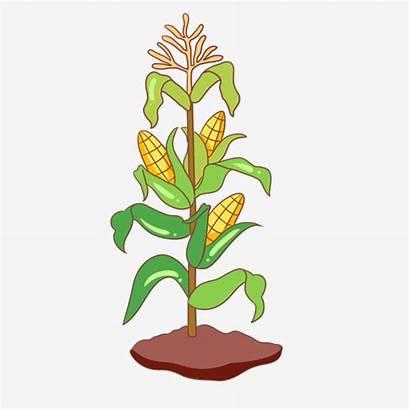 Corn Clipart Cartoon Tree Jagung Kartun Leaves