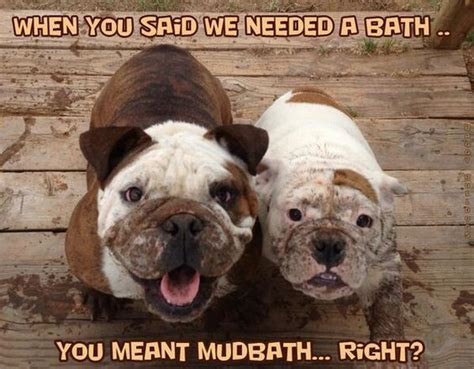 Bulldog Meme - funny bulldog memes www pixshark com images galleries with a bite