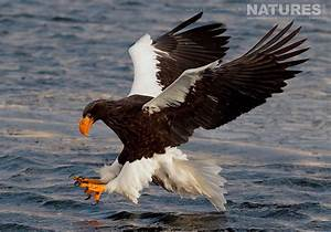 white tailed sea eagle Archives | NaturesLens