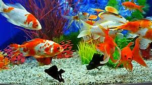 Slow Motion Of Goldfish Eating Fish Food And Swimming In ...