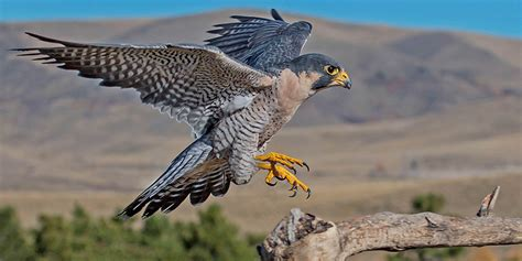 Peregrine Falcon   Basic Facts About Peregrine Falcons ...