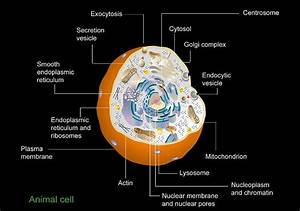 Animal Cell Anatomy  Diagram Photograph By Francis Leroy
