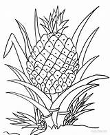 Pineapple Coloring Pages Clipart Printable Plant Cartoon Drawing Fruits Fruit Cool2bkids Colouring Ananas Sheets Line Adult Clipground Getdrawings Kid Recommended sketch template