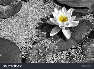"""""""Water Lily"""" Black & White And A Little Bit Of Yellow. An ..."""