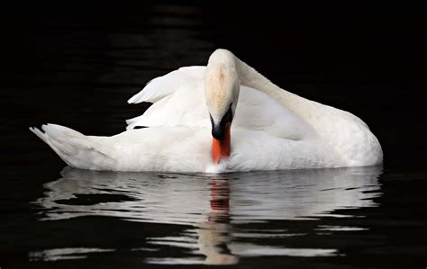 Free Picture White Swan Bird Reflection Water