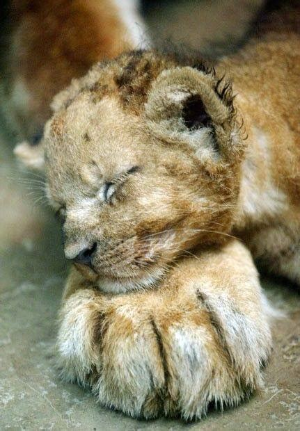 newly born lion cub sleeping   mothers paw luvbat