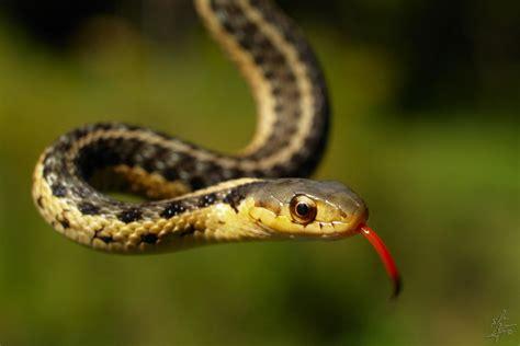 Backyard Snakes - Effective Wildlife Solutions
