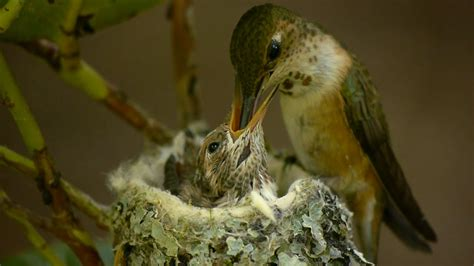 mother bird feeding baby bird amazing video youtube