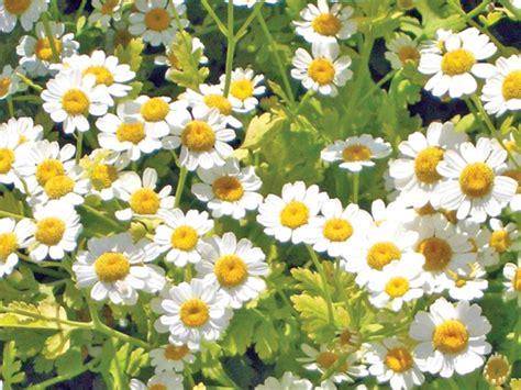 Substanţe anticancer dintr-o floare comună | Ziarul National