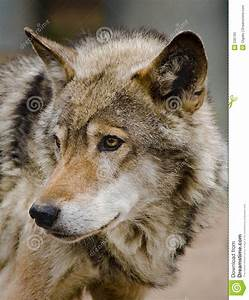 wolf, stock, image, , image, of, look, , ears, , frown, , predator