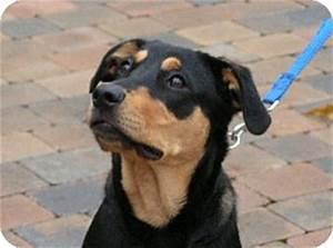 Faith | Adopted Puppy | Rigaud, QC | Labrador Retriever ...