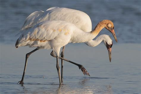 central flyway stand  species whooping crane birdnote