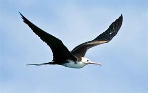 Seychelles seabirds – Greater Frigatebird – Seychelles ...