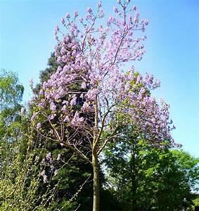 Fuchsien Stecklinge Kaufen : blauglockenbaum paulownia tomentosa g nstig online kaufen ~ Michelbontemps.com Haus und Dekorationen