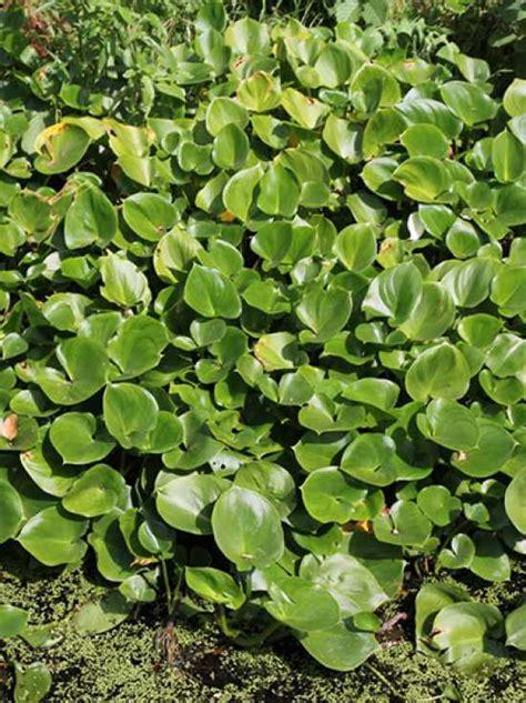 Calla Pflanze Kaufen by Calla Palustris Drachenwurz Sumpf Calla G 252 Nstig Kaufen