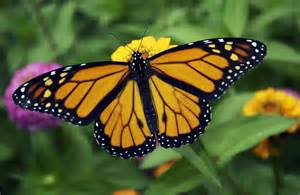 Yellow Monarch Butterfly