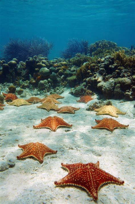 Many Starfish Underwater With A Coral Reef Stock Image